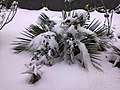 Palmeira na neve.jpg