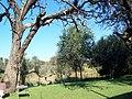 Palmietvlei Old Tree - panoramio.jpg