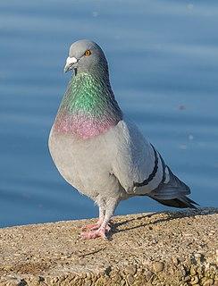 Rock dove Species of bird