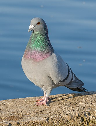 Rock dove - Adult male in Germany