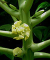 Papaya flower. (6441945331).jpg