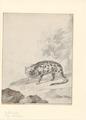 Paradoxurus hermaphroditus - 1766 - Print - Iconographia Zoologica - Special Collections University of Amsterdam - UBA01 IZA1000706.tif