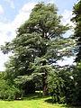 Parc Fenestre (Cedrus atlantica 'glauca').jpg