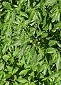 Parietaria officinalis kz11.jpg