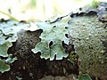 Parmelia sulcata 105945729.jpg