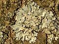 Parmelia sulcata 114952144.jpg