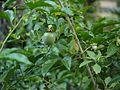 Passiflora edulis (5596963277).jpg