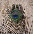 Pavo cristatus feather-2.jpg