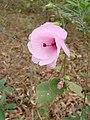 Pavonia grandiflora.jpg