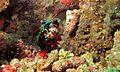 Peacock Mantis Shrimp (Odontodactylus scyllarus) (6086375026).jpg