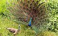 Peafowl - Male courting female, dancing.jpg