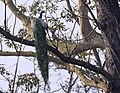 Peafowl In Branches.jpg