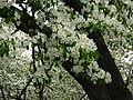 Pear blossom (Pyrus) 02.JPG