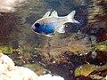 Peix cardenal marí.jpg