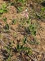 Pelargonium luridum habit.jpg
