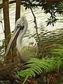 Pelecanus philippensis.jpg
