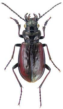 Pelophila borealis