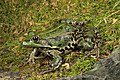 Pelophylax ridibundus (female).jpg