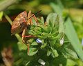 Pentatomidae sp..jpg
