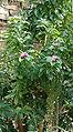 Pereskia grandiflora grandiflora HabitusFlowers BotGard0906b.jpg