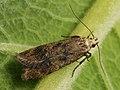 Pexicopia malvella - Hollyhock seed moth (39097569970).jpg