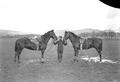 Pferde von Offizieren - CH-BAR - 3237938.tif