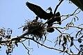Phalacrocorax auritus nest.jpg