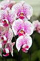 Phalaenopsis hybrid Jonna - Internationale Orchideen- und Tillandsienschau Blumengärten Hirschstetten 2016 b.jpg