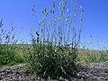 Phalaris aquatica plant1 (7398453348).jpg