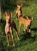 Pharaoh Hounds.JPG