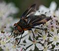 Phasia hemiptera (Shieldbug Fly) - male - Flickr - S. Rae (12).jpg