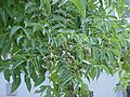 Phellodendron amurense3.jpg