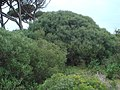 Phillyrea angustifolia 1.JPG