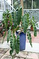 Philodendron billietiae 4zz.jpg
