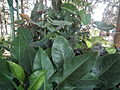 Philodendron from lalbagh 2229.JPG