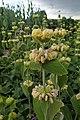 Phlomis russeliana kz2.jpg