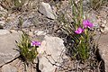 Phlox nana - Flickr - aspidoscelis (5).jpg