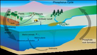 Phosphorus cycle Biogeochemical movement
