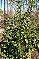 Photinia melanocarpa Elata 2zz.jpg