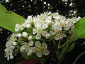 Photinia serratifolia3.jpg