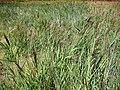 Phragmites australis habitat 15August2009 LagunadeCaracuel.jpg