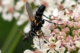 <i>Phyllomya volvulus</i> species of insect