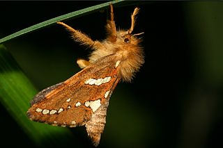 Hepialidae Family of moths