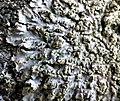 Physconia grisea 85368738.jpg
