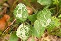 Phytomyza.angelicastri4.-.lindsey.jpg