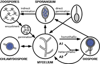 The life cycle of Phytophthora