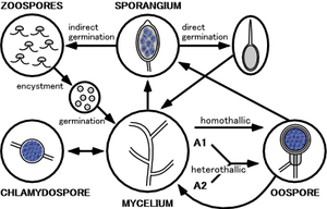 Phytophthora capsici - The life-cycle of a typical Phytophthora fungi.