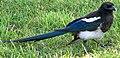 Pica hudsonia (black-billed magpie) (Bozeman, Montana, USA).jpg