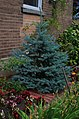 Picea pungens in Rue Holt, Montreal.jpg