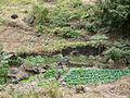 Pico da Antonia-Polyculture en terrasses (1).jpg